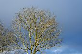 Bare sunny crown of a tree in deteriorating weather