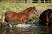 Foal Of Czech Sport Pony In The Water