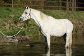 foto of arabian horse  - Amazing white arabian horse standing in the water