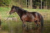 Czech Sport Pony In Water
