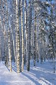 Birch Trunks Covered With Snow