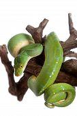 foto of pythons  - Morelia viridis - JPG