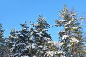 Pine Trees Covered With Snow
