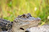 picture of swamps  - Portrait of a young American alligator in a Florida swamp