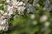 stock photo of vulva  - Hawthorn flower with bokeh in a british garden - JPG