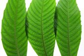 picture of ashes  - Close Up of Three Ash Tree Leaves - JPG