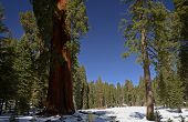 image of sequoia-trees  - Sequoia National Park is a national park in the southern Sierra Nevada east of Visalia, California, in the United States. The park is famous for its giant sequoia trees, including the General Sherman tree, one of the largest trees on Earth. - JPG