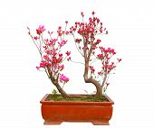 foto of bonsai  - Red azalea bonsai isolated on white background - JPG