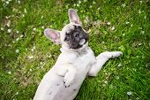 foto of french bulldog puppy  - young french bulldog puppy outdoors in summer - JPG
