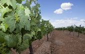 picture of tierra  - First green grapes at Tierra de Barros Region with its unique red soil Extremadura Spain - JPG