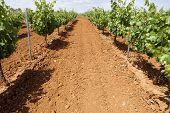 foto of tierra  - Vines plantation fields at Tierra de Barros Region with its unique red soil Extremadura Spain - JPG
