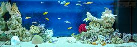 pic of shell-fishes  - Large rectangular aquarium with tropical cichlids fish - JPG