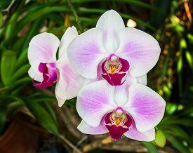stock photo of rare flowers  - Closeup of pink orchid phalaenopsis - JPG