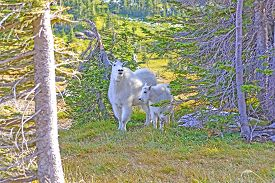 stock photo of baby goat  - Mother and Baby Mountain Goats in a Shaded Glen Near Logan Pass in Glacier National Park in Montana - JPG