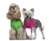 Dressed American Cocker Spaniel and Chinese Crested dog, 3 years old and 7 months old, in front of white background