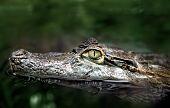 Headshot of crocodile swimming