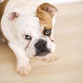 English Bulldog sitting on wood floor looking up at viewer.