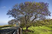 Road with Jacaranda tree blooming with purple flowers in Maui, Hawaii.