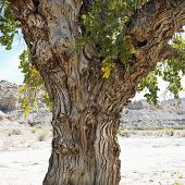 Gnarly trunk of Cottonwood tree in desert Cottonwood Canyon, Utah.