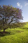Jacaranda Tree blooming with purple flowers in field of green grass in Maui, Hawaii.