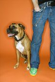 Young adult Caucasian male with hand in pocket with Boxer dog.