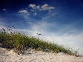 stock photo of sea oats  - sea oats on a sandy dune bend in the breeze of a sunny florida afternoon - JPG