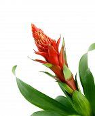 Bromelia Jungle Star