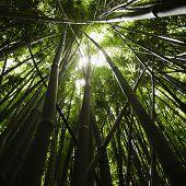 Lage hoek uitzicht op bamboebos in Maui, Hawaii.