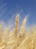 Close up view of wheat field ready for harvest.