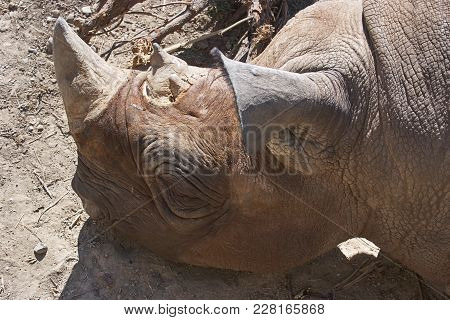 Rhinoceros Laying At Rest In