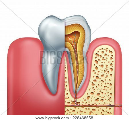 Human Tooth Anatomy Dentistry Medical