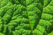 Texture Of Burdock Leaf. Floral Background. Fresh Green Burdock Leaf Texture Close Up. Natural Folia poster
