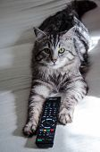 Siberian Forest Cat With Tv Remote Control Between Paws. Close-up With Contrasting Light Spots. poster
