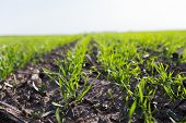 Young Wheat Crop In A Field. Crops Of Winter Wheat. Rows Of Young Sprouts Of Wheat. Green Grass On T poster