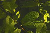 Fresh Green Foliage Close-up, Foliage Texture Background poster