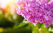 Lilac Flowers, Spring Flower Background With Blooming Lilac Flowers. Selective Focus At The Central  poster
