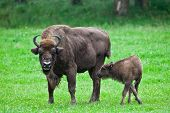 pic of aurochs  - european bison with offspring on a meadow - JPG