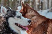 Smiling Muzzle Husky Dog. Portrait Happy Siberian Husky On Walk In Winter Forest. poster