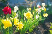 Spring Flowers Daffodils And Tulips Flowering In Garden On A Flower Bed. Spring Landscape With Bloom poster