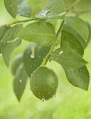 Green Lemon Hanging On A Branch
