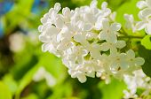 Lilac Flowers, Spring Flower Background With Spring White Lilac Flowers Blooming In The Spring Garde poster
