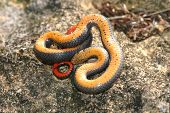 stock photo of ringneck  - Prairie ringneck snakes often play dead when first captured - JPG