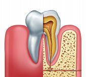 Human Tooth Anatomy Dentistry Medical Concept As A Cross Section Of A Molar With Nerves And Root Can poster
