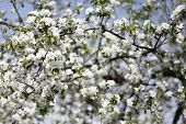Apple Tree Blossom. Apple Orchard In Spring Time. Sunny Spring Day In Orchard. Spring poster