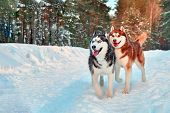 Funny Siberian Husky Dogs Walk In Winter Forest. Black And White And Red Husky Run In Snowy Park. poster