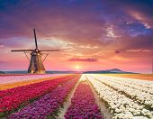 Traditional Netherlands Holland Dutch Scenery With One Typical Windmill And Tulips, Netherlands Coun poster