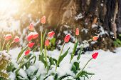 Blooming Red Tulip Flowers In Spring Covered With The Last Cold Snow In The Park When It Suddenly Be poster