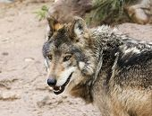 A Mexican Gray Wolf, Canis Lupus, Largest Of Wild Dogs And Found Only In The Wilderness poster