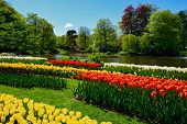 Blooming tulips flowerbeds in Keukenhof flower garden, also known as the Garden of Europe, one of th poster