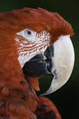 image of polly  - portair of a scarlet macaw at the zoo  - JPG